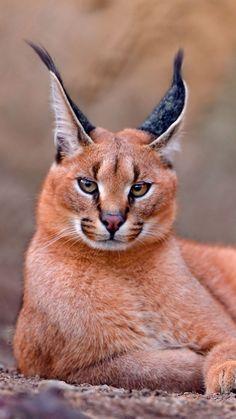 [Caracal, gato grande] » [*- Caracal: gato semejante a un lince, de patas largas, con orejas con mechones negros y el pelaje marrón uniforme, nativo de África y Asia occidental.]