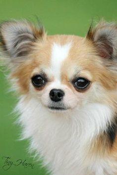 Chihuahua by Dreamer412