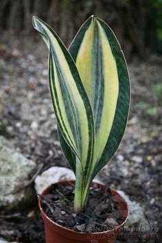 Bogenhanf, Sansevieria masoniana white variegated