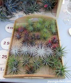 I think these are succulent plants that look best in terrariums. More succulent plants at http://www.windowbox.com/plants/succulents-cactus.html #succulent #bubbleterrariums
