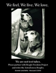 PLEASE HELP SAVING THE BEAGLES FROM 'ASTRAZENECA' TO THE LABS!