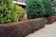 Épine-vinette de Thunberg pourpre    L'épine-vinette de Thunberg pourpre (Berberis thunbergii 'Atropurpurea') est un arbuste semi-persistant, particulièrement adapté pour la formation de haies basses.