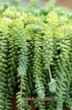 Propagating Donkey's Tail, Burro's Tail - Sedum morganianum - Mine does not look like this, have to get my green thumb going