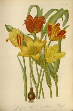 Tulipa kolpakowskiana - circa 1878