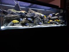 Here is my tank, 240 gallon with a lot of rocks and mbuna listed below, it has been up and running for about two months, tanksAlot for looking Mike