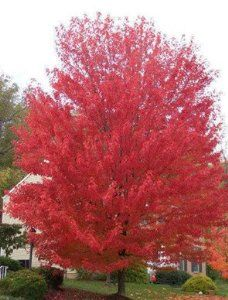 25 SIBERIAN MAPLE TREE Acer Ginnala Seeds Red Leaves *Comb S/H by Seedville. $2.00. BLOOMS: Spring. PLANT HEIGHT: 15 - 25 Feet . . . PLANT SPACING: 20 - 30 Feet. LIGHT REQUIREMENTS: Sun - Part Shade . . . SOIL / WATER: Average - Dry. As the name suggests, the Siberian Maple is very cold hardy. It also tolerates dry soil well, so it is an excellent choice to grow almost anywhere! It has fragrant flowers in the spring and fiery red leaves in the fall. They even ...