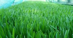 Wheatgrass health benefits