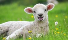 """Top 10 Facts About Sheep"" from the Sunday Express can be found at: express.co.uk/life-style/top10facts."