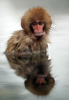 Snow Monkey bathe in hot spring water in Jigokudani, Nagano, Chubu_ Japan