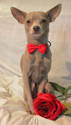 So romantic #chihuahua #yummypets