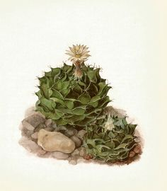 Use coupon code PINTEREST to save 10% off of your purchase! Gorgeous ANTIQUE CACTUS PRINT Artichoke Cactus by UpcycleFarmer