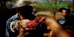 Pada kesematan kali ini kami sebagai salah satu agen judi sabung ayam online Esseayam.com akan membahas tentang Beberapa jenis Tarung ayam yang ada di s128.