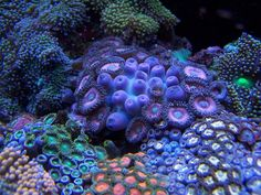 DT's Oyster eggs. - Reef Central Online Community