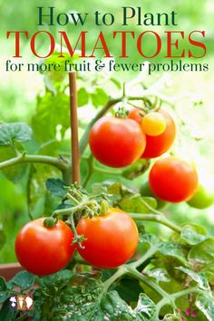 Learn how to plant tomatoes in your garden for a more abundant and successful harvest. Avoid tomato problems like cracking and bushy plants with little fruit and instead have lots of tomatoes this summer!
