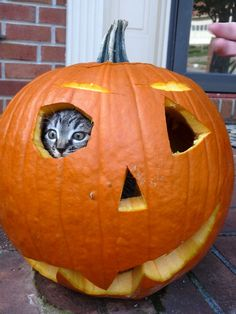 Halloween kitty / Kitten inside a pumpkin / / Autumn / Fall / /  - - Your Local 14 day Weather FREE > http://www.weathertrends360.com/Dashboard  No Ads or Apps or Hidden Costs