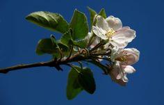 """Die letzten Apfelblüten  ...  gingen heute Mittag durch den Gewitterschutt am 1. Mai verloren. Die Bäumen im Garten sind jetzt nur noch """"grün"""". Mal sehen, ob die Bienen fleißig waren und es auch hoffentlich Früchte im Herbst gibt. :-)"""