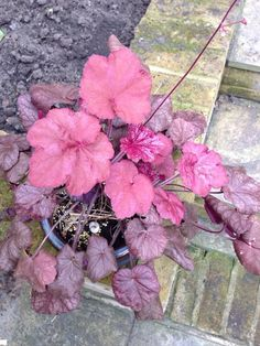 Now you can instantly identify just about any flower or plant using Garden Answers, the intelligent plant identification mobile app available for IOS and Android devices. Shazam for plants. Coral Bells Heuchera, Range, This Or That Questions, Colors, Spring, Winter, Garden, Plants, Beautiful
