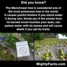 The Manchineel Tree.