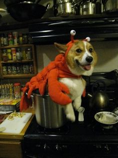 Lobster Corgi Saves TheDay (from burglars, that is)!