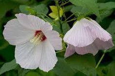 NATIVE Hibiscus moscheutos (Swamp mallow) to 7 x Full sun. Wet to moist soil. Different Types Of Fences, Moon Nursery, Rose Of Sharon, Rain Garden, Rose Photos, Tropical Garden, Native Plants, Garden Styles, Hibiscus