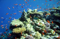 Corals c