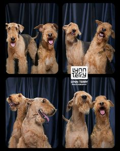 Airedales from Tails From the Booth book by Lynn Terry Photography. LynnTerry.com