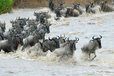 Catch the last couple of days of the yearly Wildebeest Migration in Kenya until 25 September 2016.    https://www.youtube.com/watch?v=KF47Za1lfjM&feature=youtu.be  Safari Live Livestream takes you on a virtual ride to catch the last gasps of the migration.   You can even ask the ranger question in real time via email or Twitter. #WildebeestMigration #Kenya #MaasaiMara