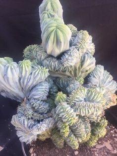 HUGE myrtillocactus geometrizans elite CREST cactus cacti succulent crested 2