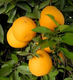 Valentine pomelo is a cross of a Dancy mandarin and Ruby blood orange hybrid with a 'Siamese Sweet' pomelo.