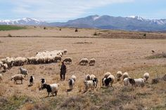 TRK43911 Photo Look, Sheep, Animaux