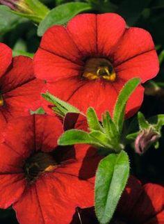 Calibrachoa, Mini Famous Compact: Vampire Red
