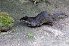 Auf Entdeckungstour © ein Fischotter in einem Aquarell von Frank Koebsch | Fischotter im Rostockeer Zoo (c) FRank Koebsch (3)