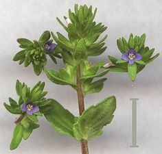 Wall Speedwell  (Veronica arvensis) Photo Search, Purple Flowers, Veronica, Gallery, Wall, Plants, Planters, Plant, Planting