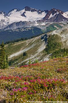 Wildflowers bloom along the Harmony Lake Trail on Whistler Mountain, Whistler, British Columbia, Canada