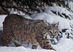 An inhumane fur farm has been issued a license to breed bobcats in captivity for their pelts.  Please urge officials to listen to the overwhelming majority of people who disapproved of this decision, and to retract the license.