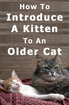 Cat-Care Strategies For Taking Care Of Your Best Friend – Pets, Dogs, Cats Caring Tips and Pictures Fluffy Kittens, Cats And Kittens, Kitty Cats, How To Introduce Cats, Introducing A New Cat, Cute Cats, Funny Cats, Cat Whisperer, Kitten Care