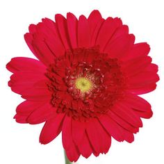 FiftyFlowers.com - Mini Gerbera Daisies Mistletoe Berry Red $140