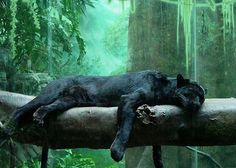 ------------------------- ------------------------- image source : pinterest.com A black panther is typically a melanistic color variant of any Panthera species. Black panthers in Asia and Africa are leopards (Panthera pardus). Black panthers in the Americas...