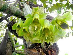 Catasetum Macrocarpum (mãe do hibrido)