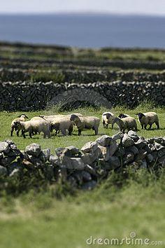 Irish sheep by Maarten Van Der Kroft, via Dreamstime