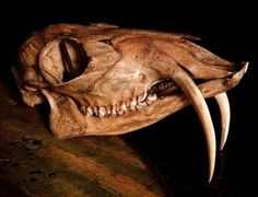 Antique musk deer skull.