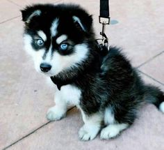 Little baby husky dogs love animals pets Cute Baby Husky, Cute Husky Puppies, Cute Puppy Breeds, Fluffy Puppies, Puppy Husky, Puppies Puppies, Dachshund Puppies, Rottweiler Puppies, Husky With Blue Eyes