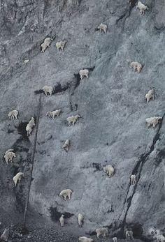 Вот что значит горный козел