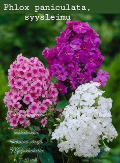 Phlox Perennial, Phlox Plant, Perennials, Cheap Landscaping Ideas, Small Backyard Landscaping, Backyard Patio, Summer Flower Arrangements, Summer Flowers, Phlox Flowers