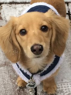 English cream dachshund- I will have one someday. Its the perfect combo of Golden Retriever and a doxie :)