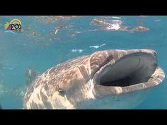 Swim with Whale Shark Tour Cancun | EcoColors Tours Mexico