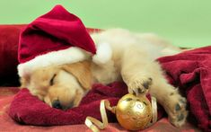 Cute Puppies, Cute Dogs, Dogs And Puppies, Labrador Puppies, Christmas Puppy, Christmas Animals, Merry Christmas, Christmas Time, Holiday Time