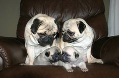 What a cute pug family! And look at those adorable puppies giving each other a kiss! –