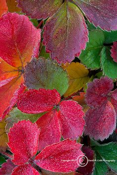 Fall Strawberry Leaves | David Cobb