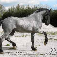 Blue roan with Reverse Dapples (or cobwebbing pattern) Carletto: Italian Murgese stallion